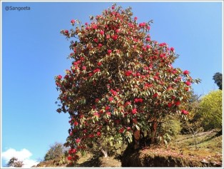 Goechala-Red Rhododendron