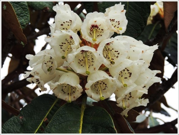 oechala Trek with Wildboots; Rhododendrons