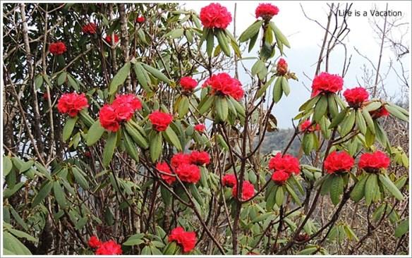 Sandakphu_Rhododendron_Bloom