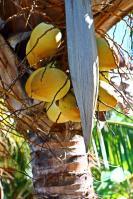 Kokosnüsse gab´s auf der Insel in rauen Mengen!
