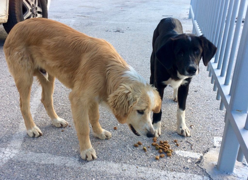In a carpark in Nafplio harbour two dogs - one creamy beige colour, one black and white with one eye