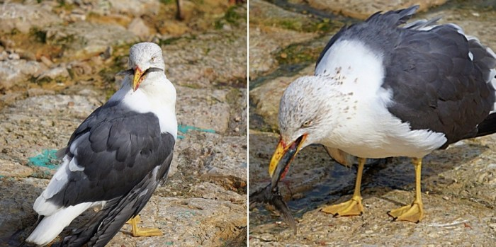Seagull with a fish tail partially lodged in the beak with the tail sticking out