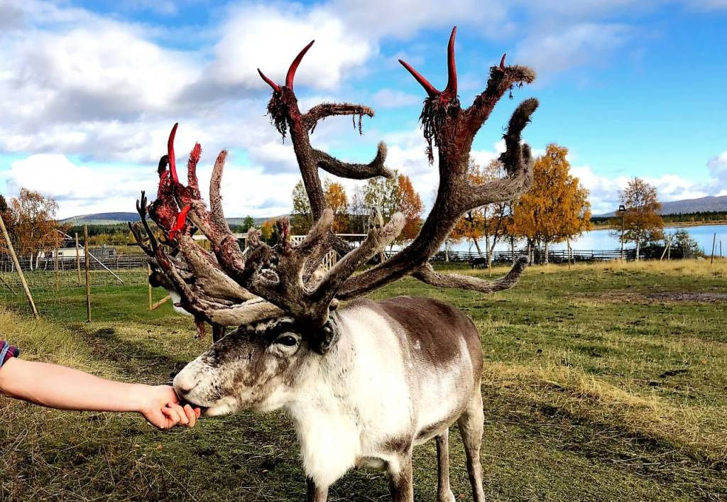 A photo of a reindeer with large antlers. The antlers have lots of red bloody skin hanging from them.