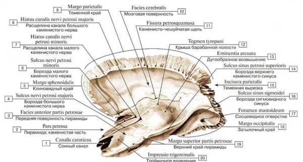 Кости мозгового черепа - КОСТИ ЧЕРЕПА - СИСТЕМА СКЕЛЕТА ...