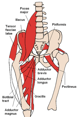 Anterior Hip Muscles diagram
