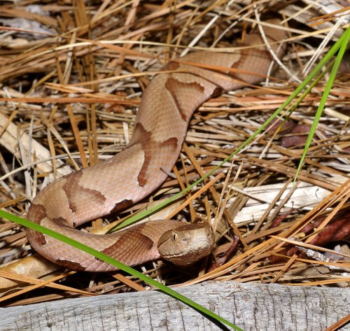 Copperhead snake in hay by Tom Spinker on Flickr