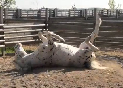 Hugin, the blind Knabstrupper stallion, rolls with enthusiasm on his 25th birthday.