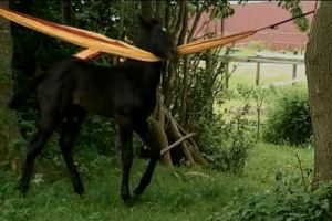 The dark colored Andalusian foal, Amoroso, hangs over a hammock and scratches himself.
