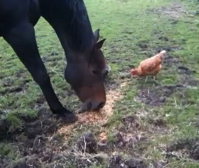 Horse eats feed off ground by chicken. By Pippa2shoes on Youtube.