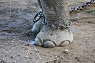 7562741-elephant-in-chains