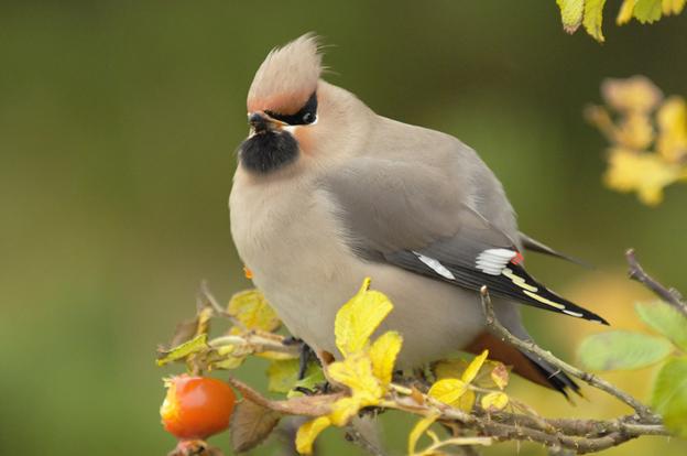 Птица свиристель - фото