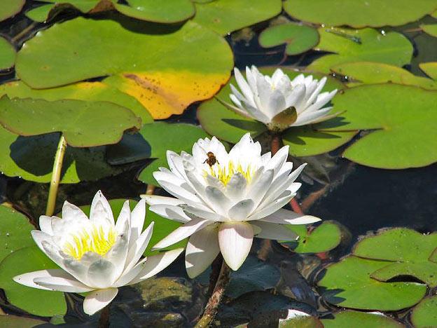 пруд с лилиями своими руками