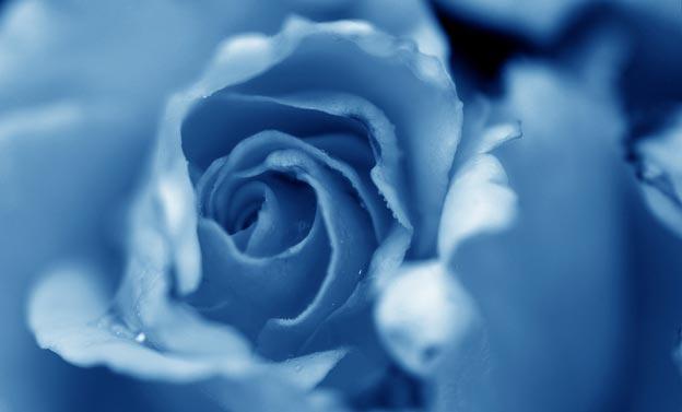 фото садовых цветов голубая роза