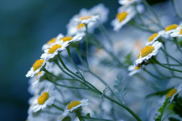 фото садовых цветов ромашки