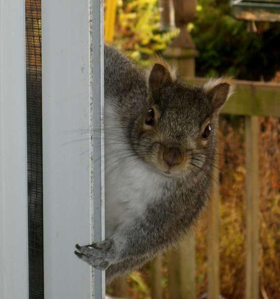 любопытная белка на двери фото живая природа