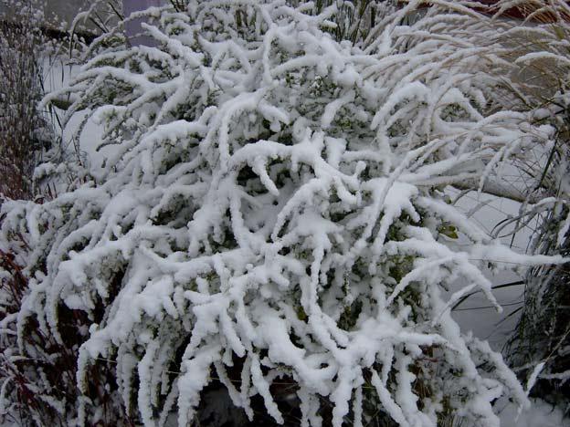 золотарник зимой снег на ветвях фото