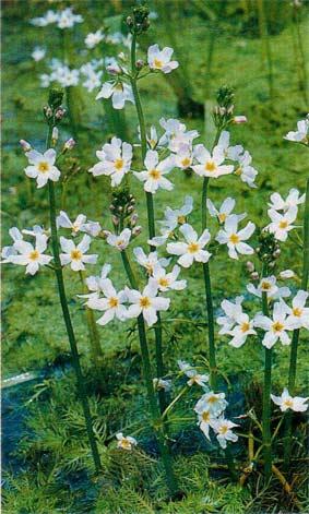 турча болотная растения в пруду чем засадить пруд