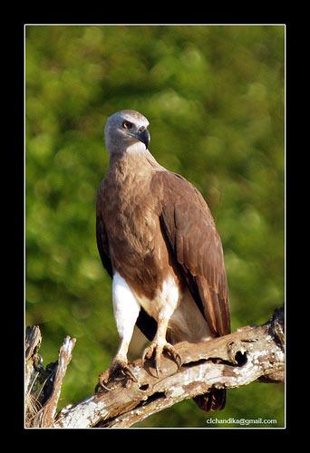 ястреб фауна птицы природа шри-ланки