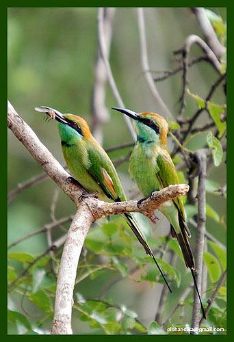 фауна птицы живая природа Шри-Ланки