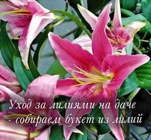 Уход за лилиями - как срезать лилии на букет