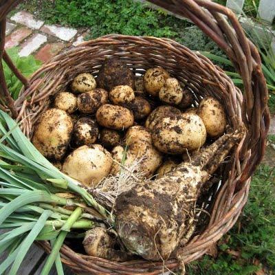 Два лучших способа выращивания картошки