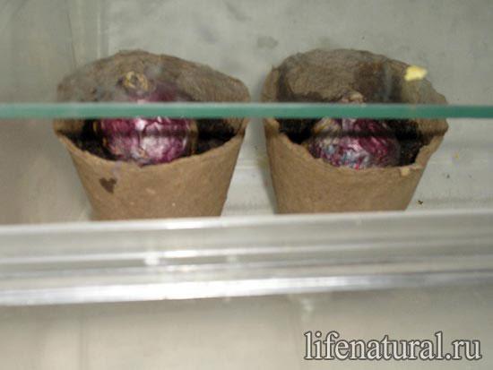 Выгонка гиацинтов в домашних условиях 6
