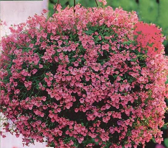 Ампельные цветы и растения в озеленении балконов и террас 1