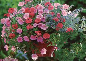 Ампельные цветы и растения в озеленении балконов и террас 3