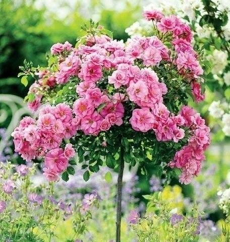 Розовая штамбовая роза