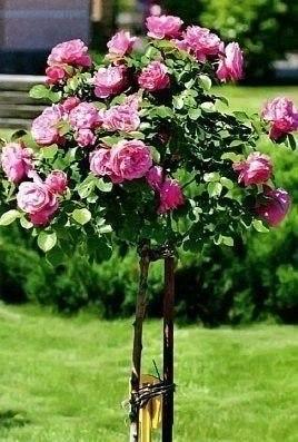 Сиреневая штамбовая роза