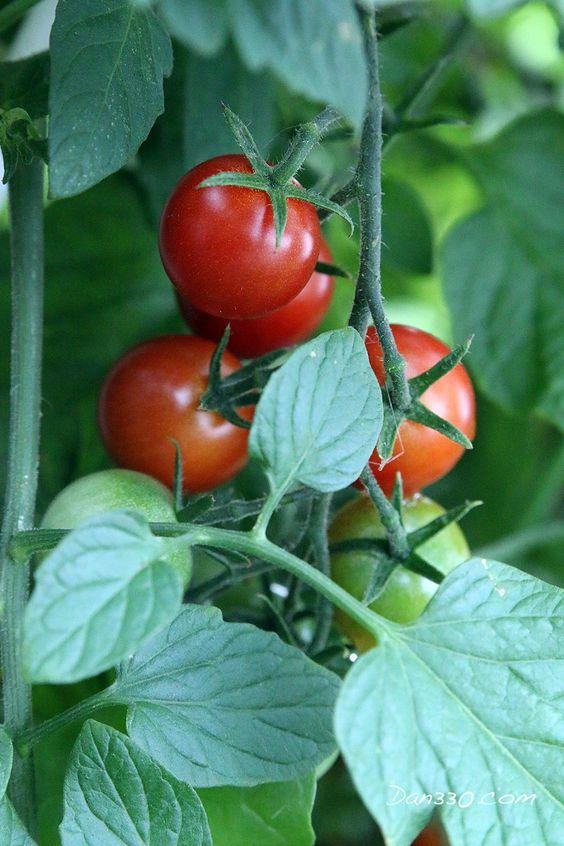 Как правильно опылять томаты