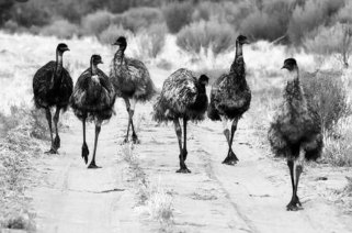 , Emu War: When humans lost from the… birds!