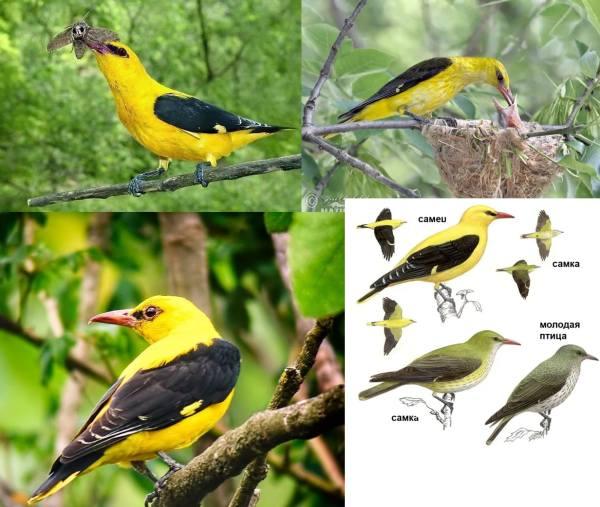 Все перелётные птицы: картинки с названиями и описаниями
