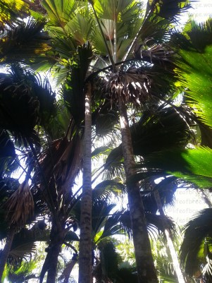 Valle de Mai nature reserve, Praslin Island