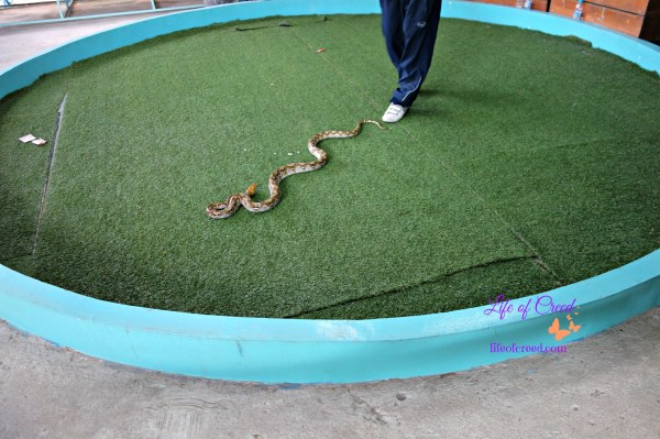 snakes, Thailand, Phuket, cobras