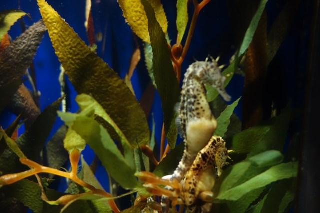 Seahorse at the Audubon Aquarium New Orleans