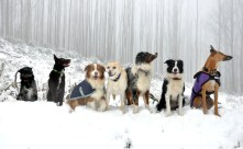 A row of snow-dogs, some of whom are watching branches fall off trees.