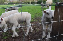 Make a little lamb friend (or two!)