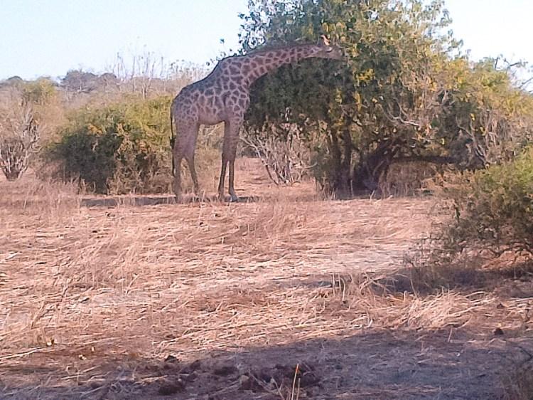 Chobe National Park, Giraffe eating leaves