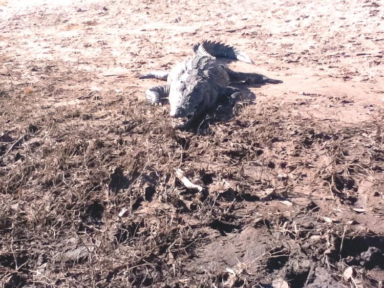 Chobe National Park, Crocodile in Sun