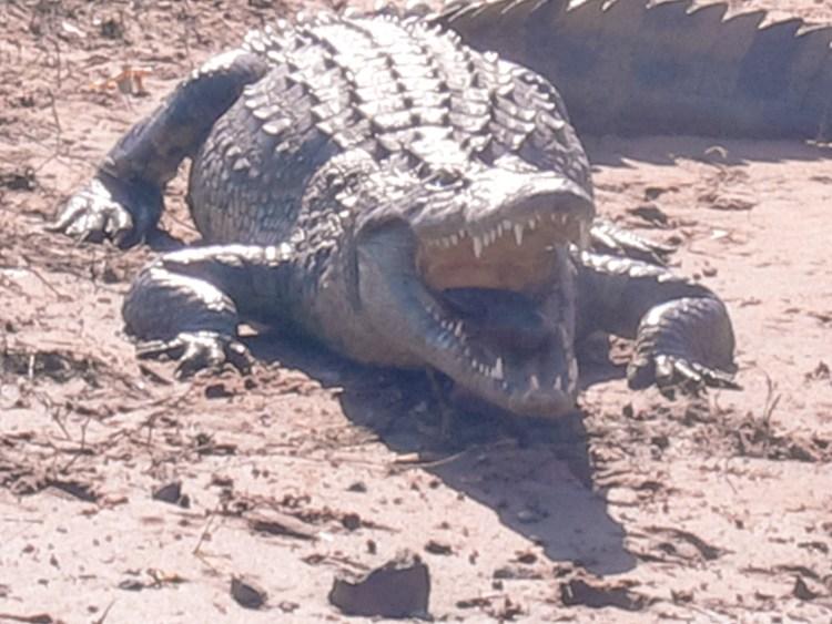 Chobe National Park. Crocodile