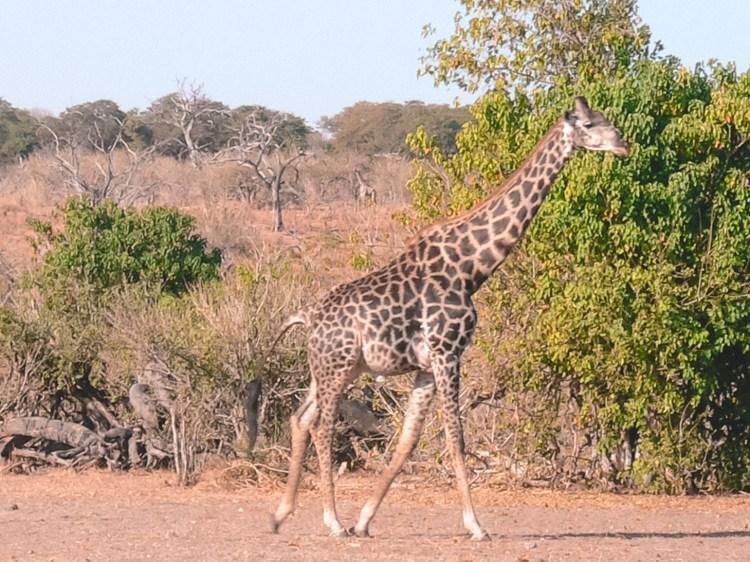 Giraffe in Botswana, Chobe National Park