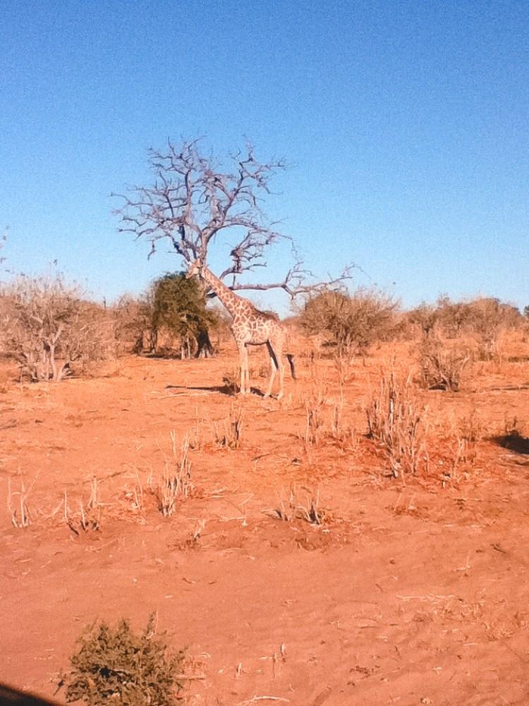 Chobe National Park, Giraffes