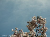 Berkeley has cherry blossoms too!