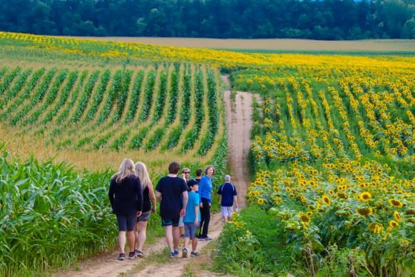 Sunflower Fields Davis Family Farm Caledon