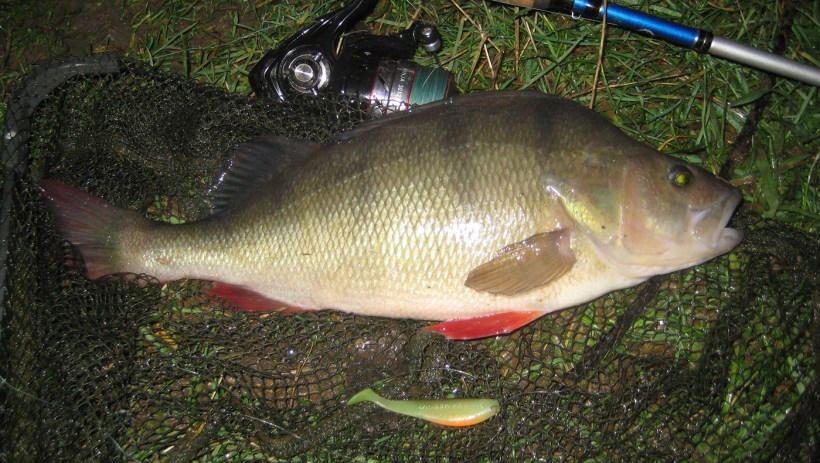 shad lures for perch