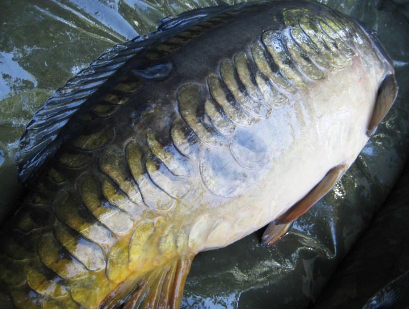 carp farlows lake 2