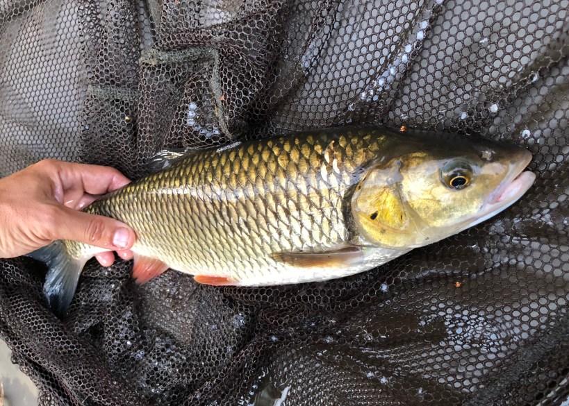 Chub Fishing on the River Lea