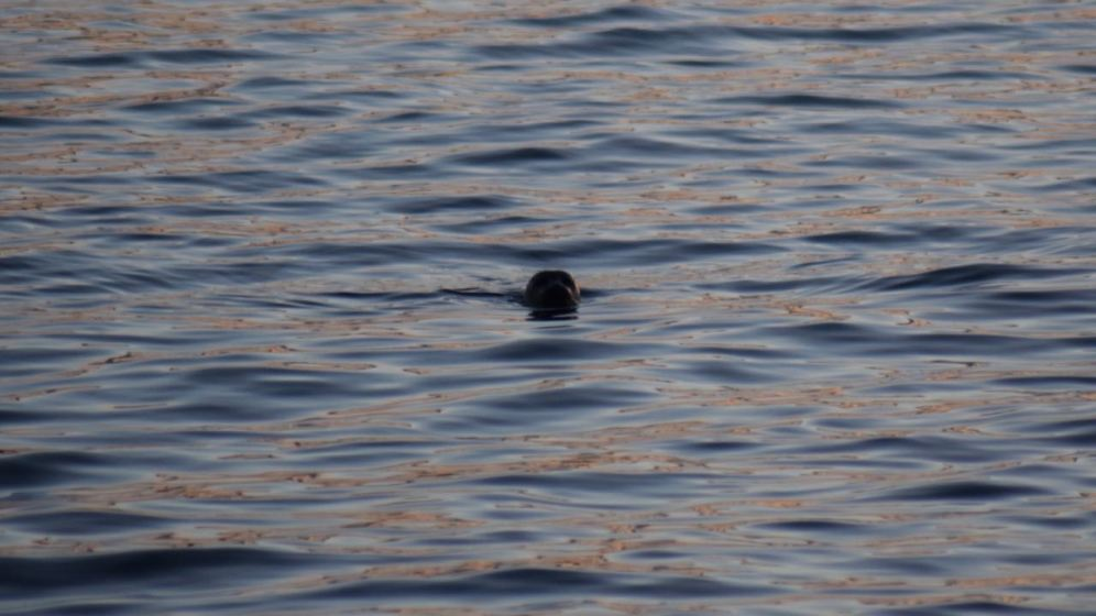A seal pokes its head up out of the water