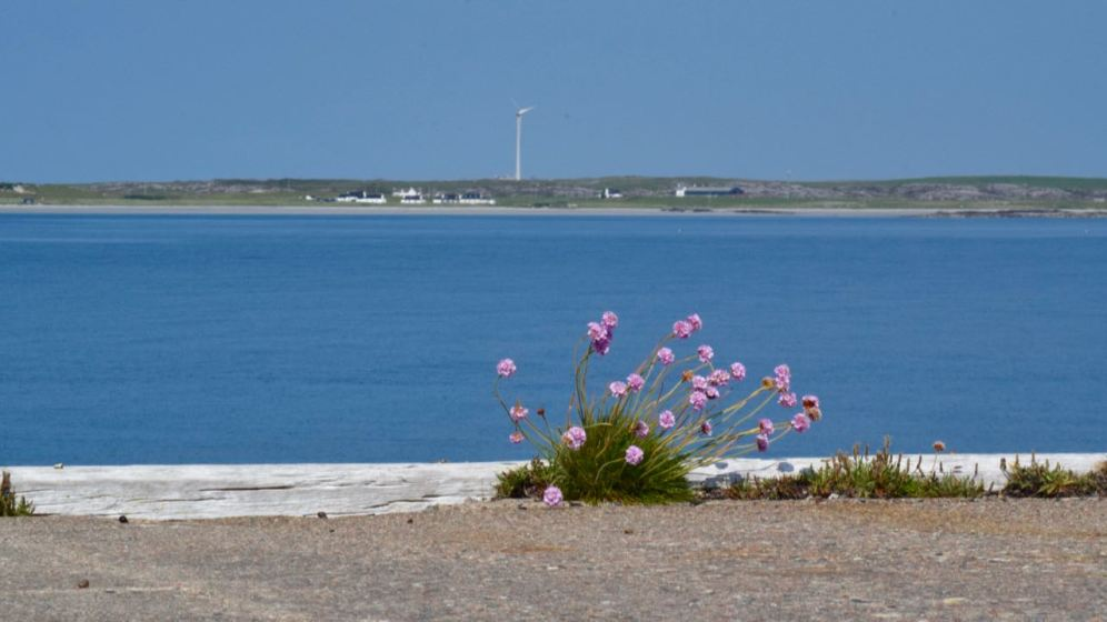 Pinks on the Old Pier - Tilley in the background
